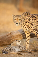 Vertical Portrait Of Adult Female Cheetah And Her Baby Cheetah In Kruger Park South Africa
