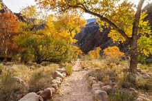 Cottonwood Trees With Fall Col...