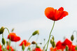 red poppy flowers on the green plain on a beautiful summer day