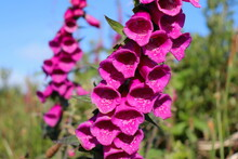 Fox Glove Plant Blossoming In The Irish Countryside, Closeup And Selective Focus, Irish Wild Flowers