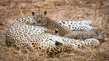 Leopard Female And Cubs Restin...