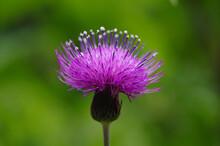 美しいアザミの花