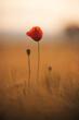 Roter Mohn in der Abendsonne auf dem Feld