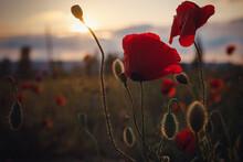 Beautiful Wild Poppies At Suns...