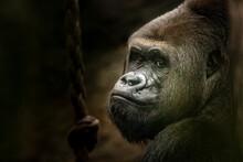 Gorilla Fine Art Portrait