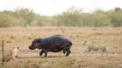 Canvas-taulu One adult hippo being harassed and chased by two lionesses in Masai Mara Kenya