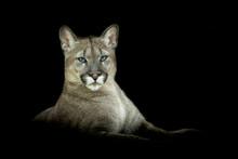 Puma With A Black Background