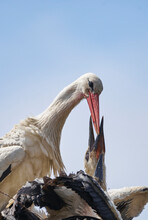 White Stork (Ciconia Ciconia) Feeding Its Greedy Young