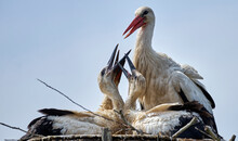 Young White Storks (Ciconia Ciconia) Beg For Food In The Nest