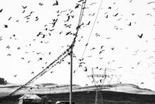 Birds, Corvus Frugilegus, Sitt...