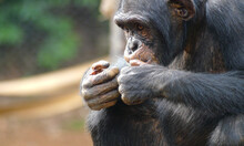 A Chimpanzee Eats Peanuts In A Conservation Shelter In The Middle Of The Rainforest In Africa