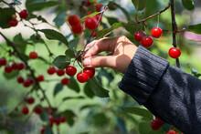 Female Hand Picking Cherries F...