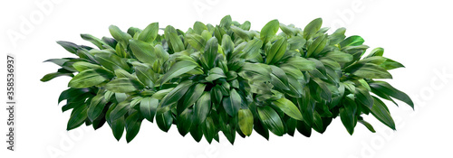 Canvas Eucrosia bicolor leaves, Green shrubs isolated on white background with clipping