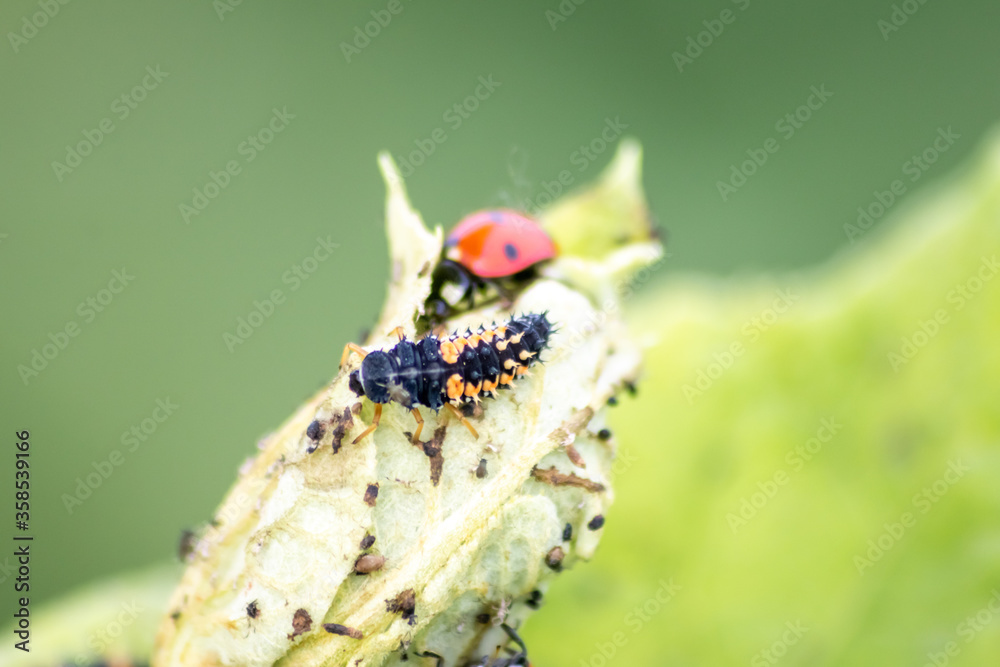 Fototapeta Spikey ladybug larvae hunting for louses on a green plant as useful animal and beneficial organism helps garden lovers protect the plants from pests like louses and bring luck and good fortune