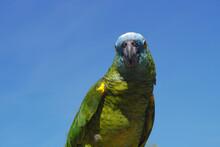 Parrot Pet Talking Bird On Blue Sky Face View