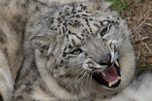 Snow Leopard Yawning And Showi...