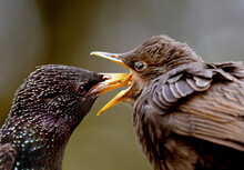 Young Starling Being Fed By Pa...