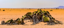 It's Welwitschia Mirabilis (living Fossil), Petrified Forest, Namibia