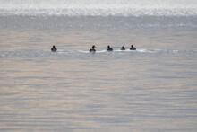 Ducks Swimming Away Into The Sea