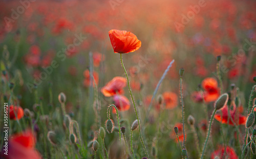 Fototapety, obrazy: Red poppies. Buds of wildflowers and garden flowers. Red poppy blossoms. Field of poppies. Background for postcards. Nature in the summer. Sunset sun. Copy space