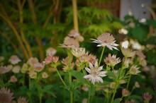 Pink Pincushion Flowers