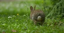 Beautiful Wild Rabbit Hops Through Wildflower Meadow Grazing Nibbling Grass Ireland Wildlife