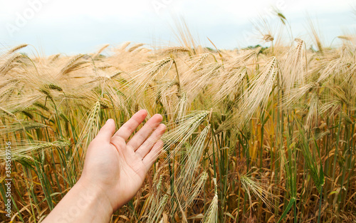 Fototapeta Wheat Sprouts In Farmer's Hand. Woman agronomist is checking up if cereal plantation is ready for harvest. obraz
