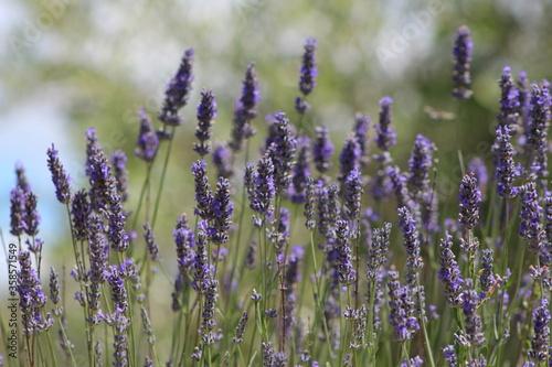 Fototapeta Lavender field in Italy on sunlight,Blooming Violet fragrant lavender flowers.Violet petals, close up.Spring blooming season,Gardening. obraz na płótnie