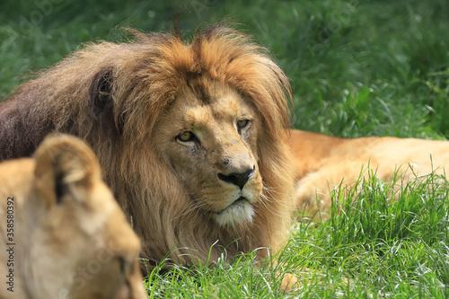 Obraz WROCLAW, POLAND - JUNE 09, 2020: Angolan lion (Panthera leo melanochaita). ZOO in Wroclaw, Poland. - fototapety do salonu