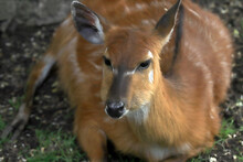WROCLAW, POLAND - JUNE 09, 2020: The Sitatunga Or Marshbuck Is A Swamp-dwelling Antelope. The Wroclaw Zoological Garden Is The Oldest And Most Visited Zoo In Poland (and The Fifth In Europe).