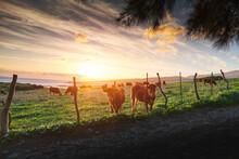 Herd Of Fluffy Cattle Pasturin...