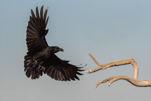 Low Angle Of Wild Black Raven Flying Over Dry Tree Branch Against Gray Sky