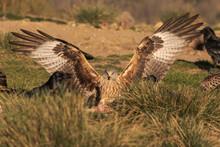 Wild Hawk Landing On Grassy Gr...