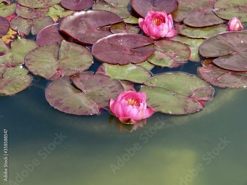 Fotografie, Obraz Water lilies in pond