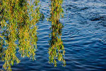 Willow Tree Branches In The Water Background