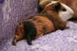 canvas print picture - the Guinea pig lay down