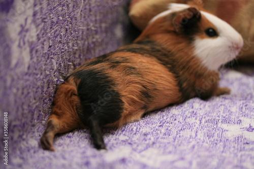 Fototapeta the Guinea pig lay down obraz