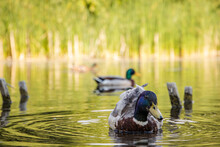 Chill Duck In A Pond