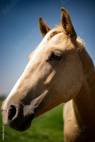 Vertical shot of a magnificent golden horse on a grass-covered field under the blue sky