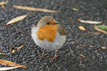 Very Young Bird Called Robin Redbreast With Its Bright Orange Chest