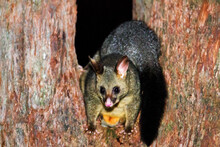 Australian Possum At Night.