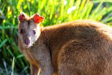 Australian Agile Wallaby On Be...
