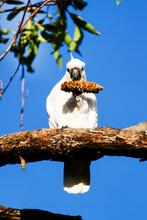 Sulphur Crested Cockatoo (Caca...