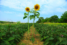 Two Sunflowers Growing Across ...