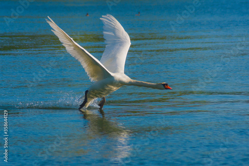 Photo The mute swan, Cygnus olor, the waterfowl family Anatidae, white male flying ove
