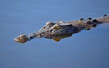 Closeup Of An Alligator Swimmi...