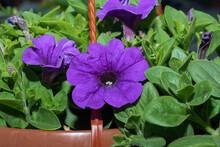 Purple Flowers Basket Of Petunias In Pots