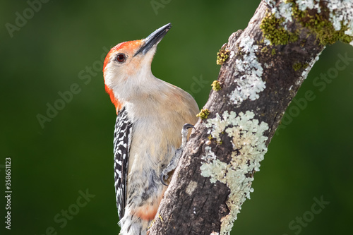 Curious Red-Bellied Woodpecker Perched in a Tree Obraz na płótnie