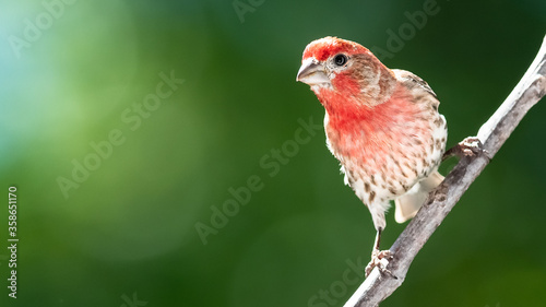 House Finch Perched on a Tree Branch Fototapeta