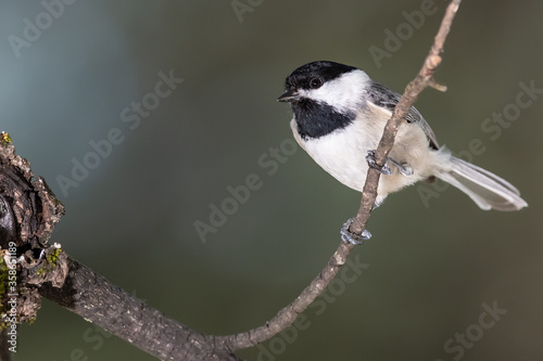 Curious Little Carolina Chickadee Perched in a Tree Wallpaper Mural